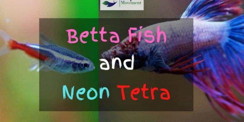 Betta Fish and Neon Tetras in same Tank?