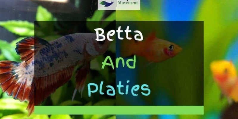 Betta Fish and Platies – Tips For Keeping Them Together