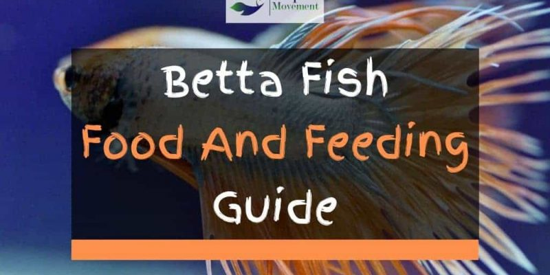 Betta Fish Food And Feeding Guide