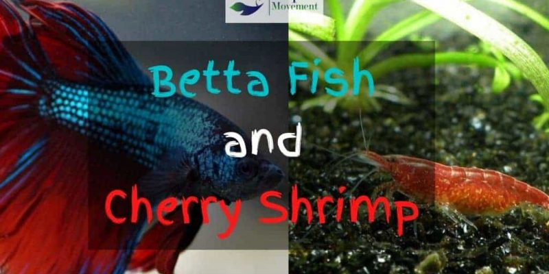 Cherry Shrimp and Betta – Friends or Foes?