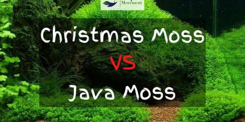 Christmas Moss vs Java Moss – A Comparison
