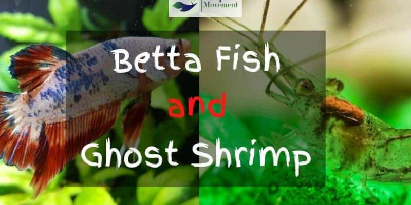 Can Ghost Shrimp and Betta Fish Live Together?