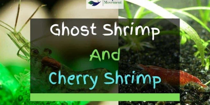 Can Ghost Shrimp And Cherry Shrimp Live Together In A Tank?
