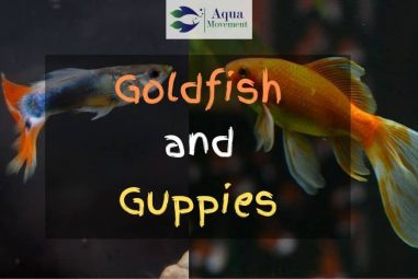 Can Goldfish and Guppies Live Together?