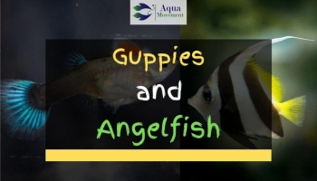 Can Guppies and Angelfish Live Together?