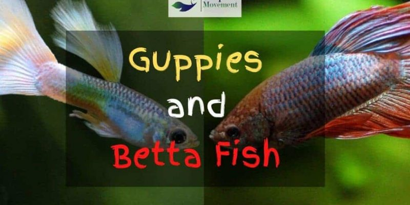 Can Guppies and Betta Fish Live Together?