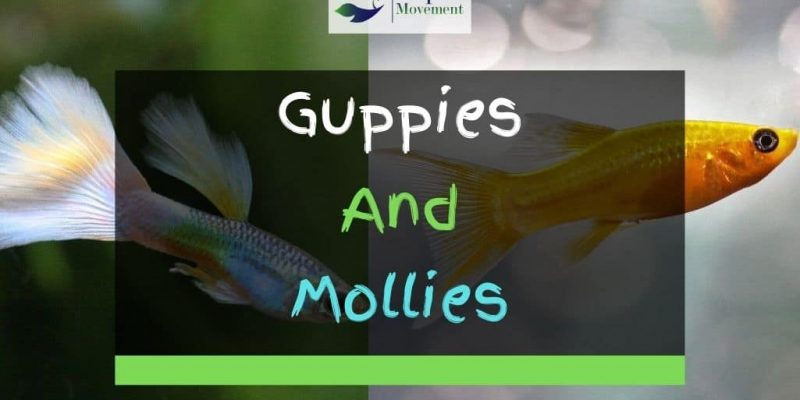 Guppies And Mollies – Best Tankmates?
