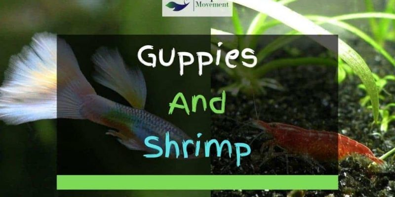 Can Guppies And Shrimp Live Together In A Tank?