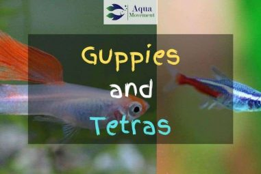 Guppies and Tetras – Best Tank Mates?