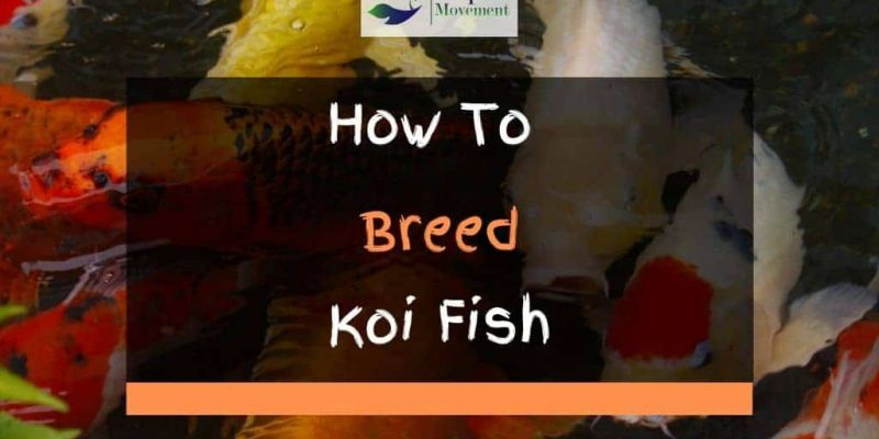 How to Breed Koi Fish – Step By Step Guide