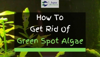 How to Get Rid Of Green Spot Algae in Aquarium