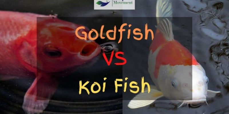 Koi vs Goldfish – What's The Difference? And Can You Keep Them Together?