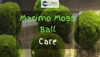 Marimo Moss Ball Care Guide