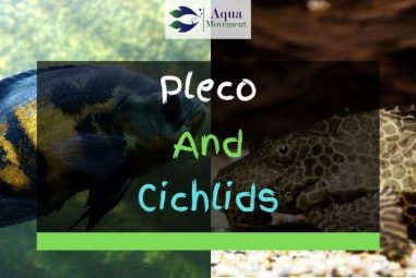 Can Pleco and Cichlids Live Together In A Tank?