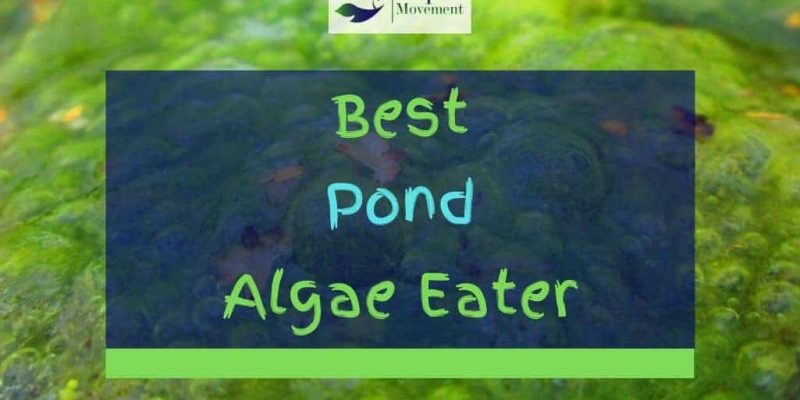 9 Best Pond Algae Eaters (With Pictures)
