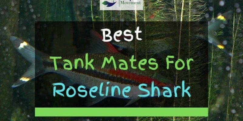 13 Roseline Shark (Denison Barb) Tank Mates (With Pictures)