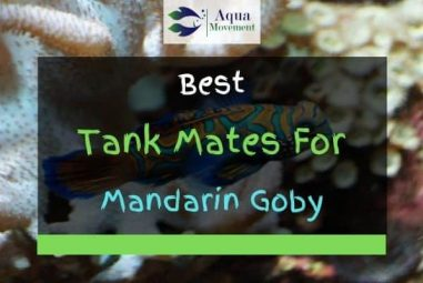 11 Best Mandarin Goby (Dragonet) Tank Mates (With Pictures)