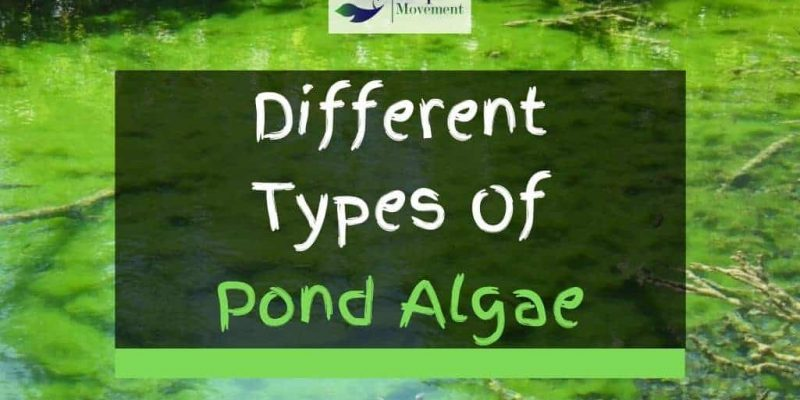 4 Different Types of Pond Algae (With Pictures)