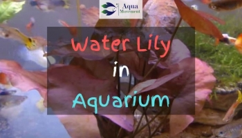 Water Lily in Aquarium – Unusual, yet Beautiful