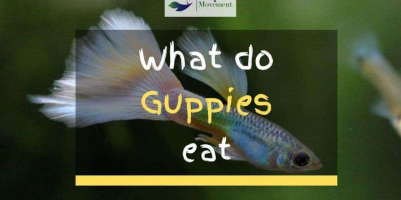 What Do Guppies Eat? – Guppy Feeding Guide