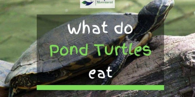 What Do Pond Turtles Eat? – A Feeding Guide