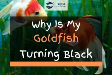 Why Is My Goldfish Turning Black? All Answers Here